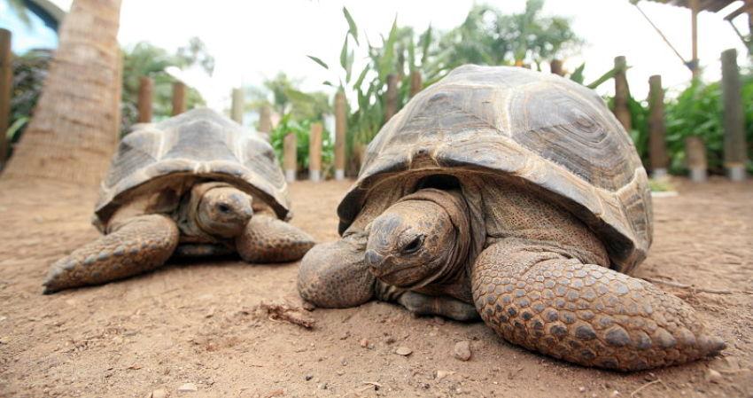 tortuga aldabra oceanografic