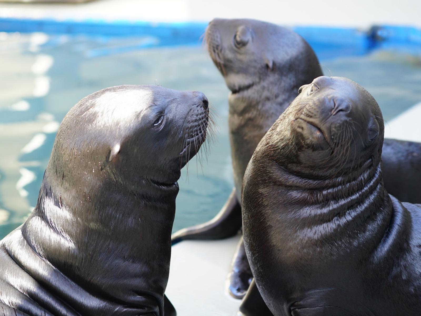 Cachorros de leones marinos